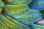 <p><strong>Fig. 5.42.</strong> (<strong>C</strong>) Vaned feathers on a parrot</p><br />