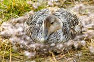 <p><strong>Fig. 5.42.</strong>&nbsp;(<strong>E</strong>) Common eider (<em>Somateria mollissima</em>) sitting on eggs in a nest lined with down feathers</p><br />