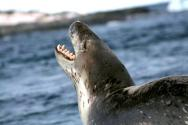 <p><strong>Fig. 6.9.</strong> (<strong>B</strong>) Leopard seal (<em>Hydrurga leptonyx</em>), Antarctica</p><br />