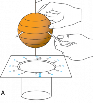 <p><strong>Fig. 1.22.</strong> (<strong>A</strong>) Place the orange in the template.</p><br />