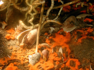 <p><strong>SF Fig. 2.4.</strong> (<strong>A</strong>) A cold seep tubeworm surrounded by orange bacterial mats of the sulfide-oxidizing bacteria at 550 m depth</p><br />