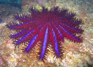 <p><strong>SF Fig. 3.5.</strong> (<strong>C</strong>) Crown-of-thorns sea star (<em>Acanthaster planci</em>)</p><br />