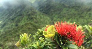 Ohia lehua blossoms