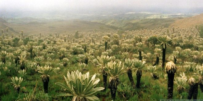 Frailejón plants in Ecuador