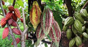Three varieties of cacao from the 10 selections growing at 6 sites in UH's Hawaiʻi State Cacao Trial