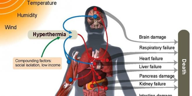 Illustration of pathways through which heat can damage vital organs and result in death.