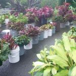 A colorful assortment of ti plants for sale