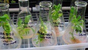 small plants growing in open-topped flasks