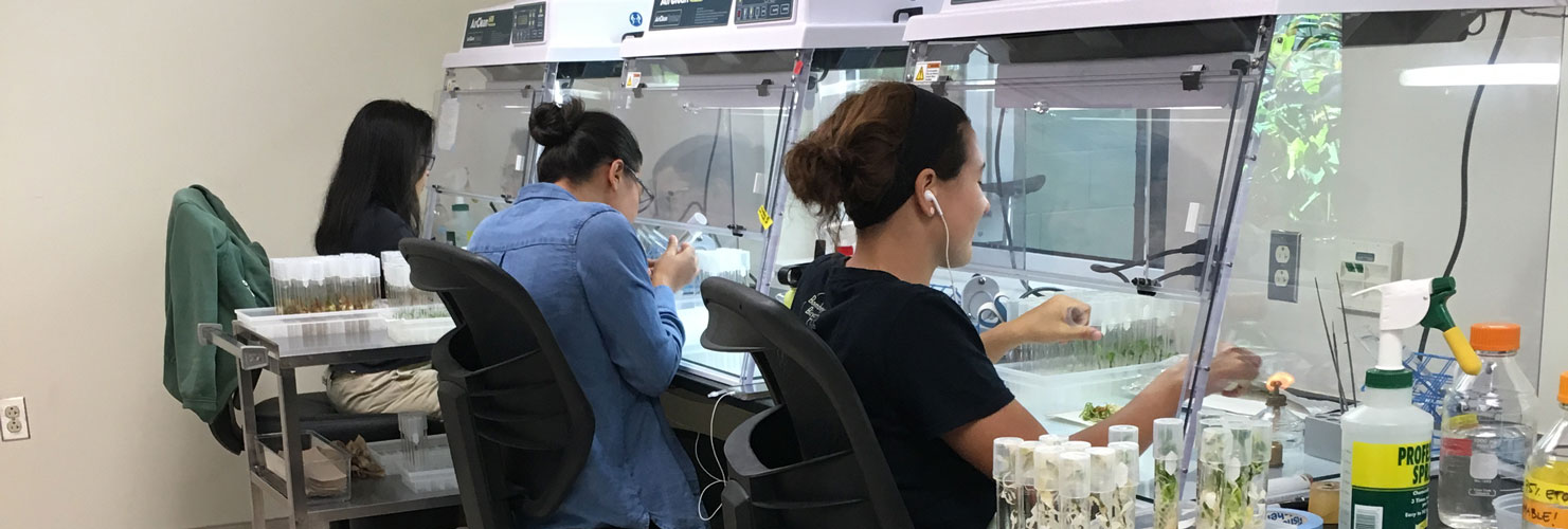 Several volunteers working in the micropropagation lab
