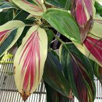 Ti with striped red, white, and green leaves