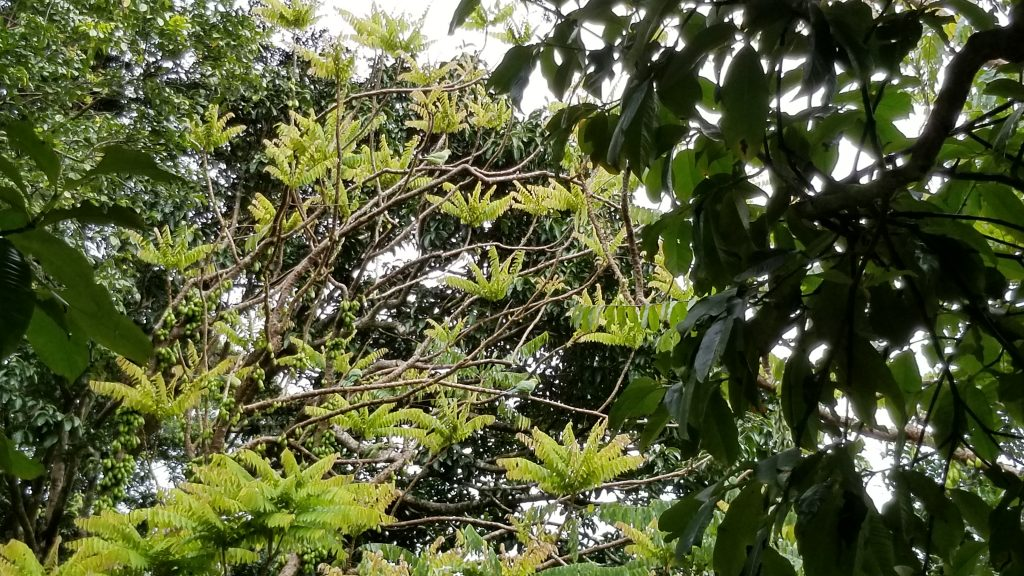 A tree with green parrots hiding among the leaves