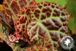 Close up of Begonia rajah leaves, which are predominantly red with green veins. The effect is vaguely reminiscent of dinosaur skin