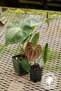 Two small Anthurium clerinervium, which have perfectly heart-shaped leaves. The upper side is green, and the underside is red with white veins