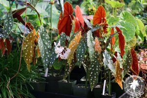 Begonia maculata wightii has dark green leaves with white spots. The underside of the leaves is soft, solid red. The plant has small white flowers
