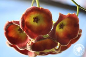 close of up Hoya lauterbachii flowers, which are red with a yellow center. They are rounded, downward-facing dishes with a fuzziness to the inner surface