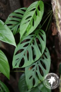close up of Monstera andansonii leaves, which are elliptical and have a pattern of holes