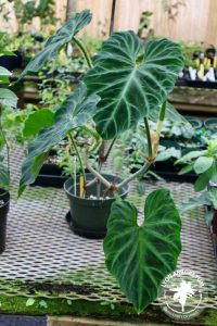 a philodendron plant with broad heart-shaped leaves with a pattern of light and dark green
