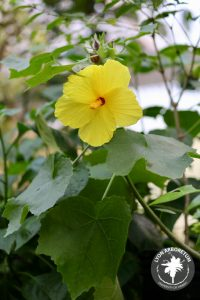Hibiscus bracenridgei is a hibiscus endemic to Hawaii. this individual is rounded and bright yellow; the central stamenal column is also yellow. a touch of red is visible where the petals meet in the center