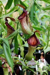 """Napenthes pitcher plant, with red-lipped """"pitcher"""" traps"""