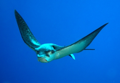 Eagle Ray in the ocean