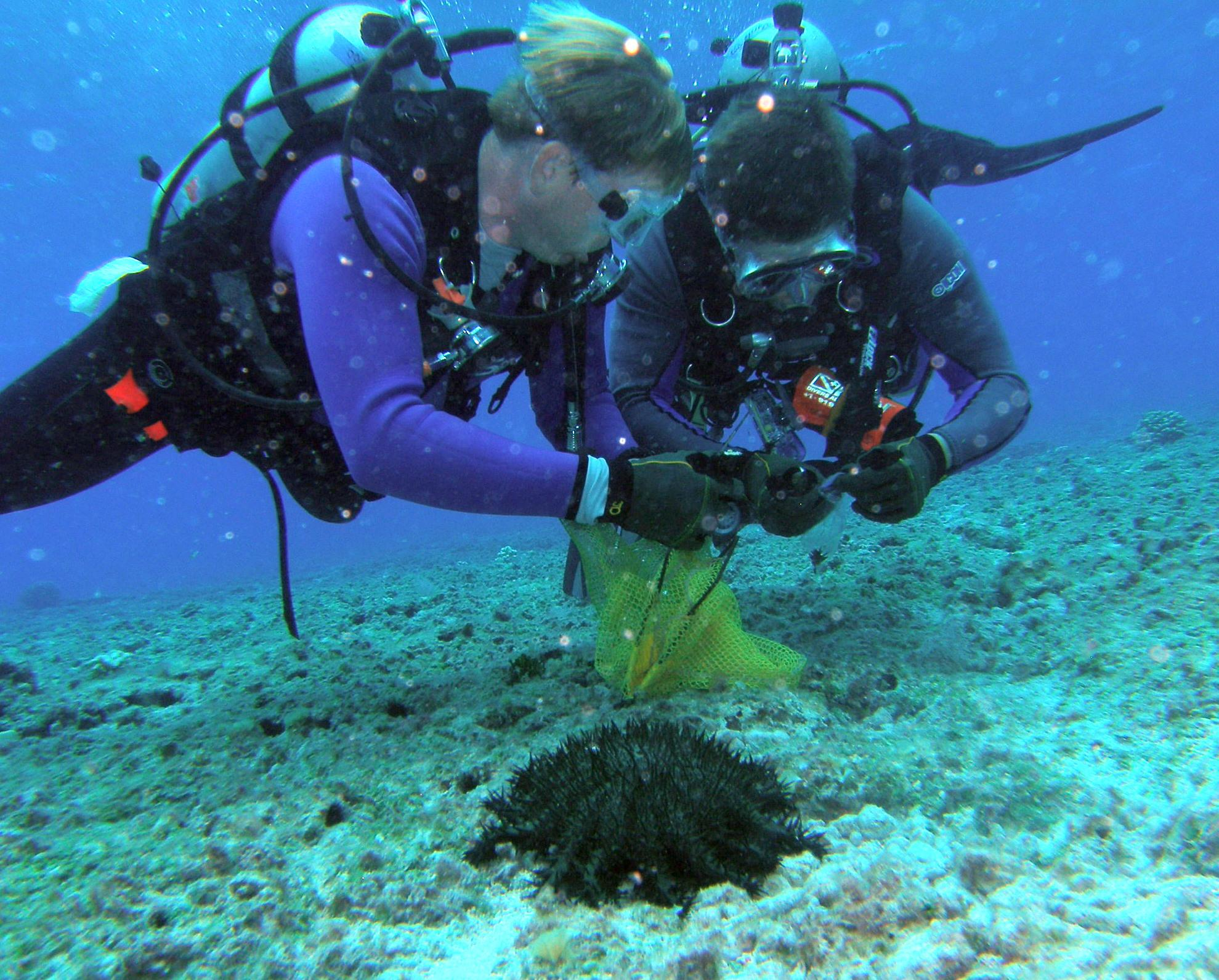 mānoa researchers disprove 30 year hypothesis about sea star