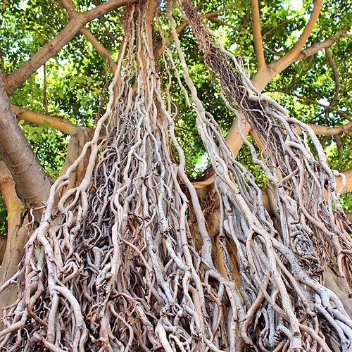 <p>Fig. 2.&nbsp;Banyan trees, like this one found in Honolulu, can reach enormous sizes.</p>