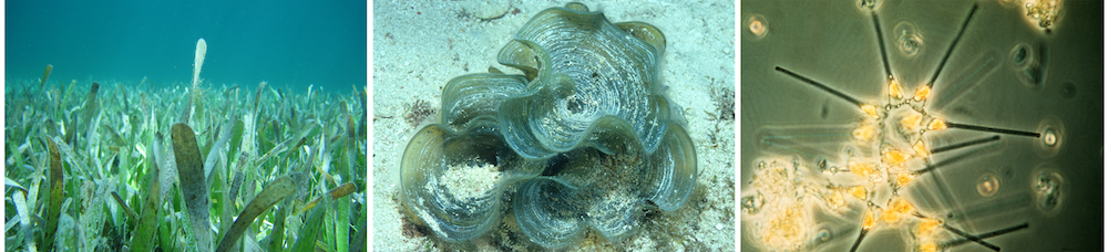 <p>Fig. 4. From left to right: the three main types of plants in the ocean include sea grass (a true vascular plant), macroalgae (known as seaweed or limu), and microscopic phytoplankton (often single-celled).</p>