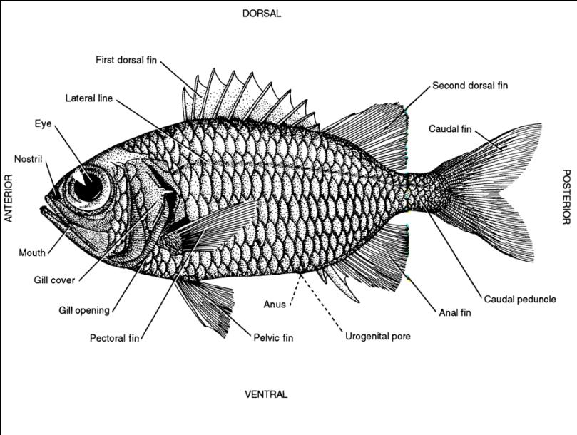 Fig. 1.14. Generalized fish anatomy