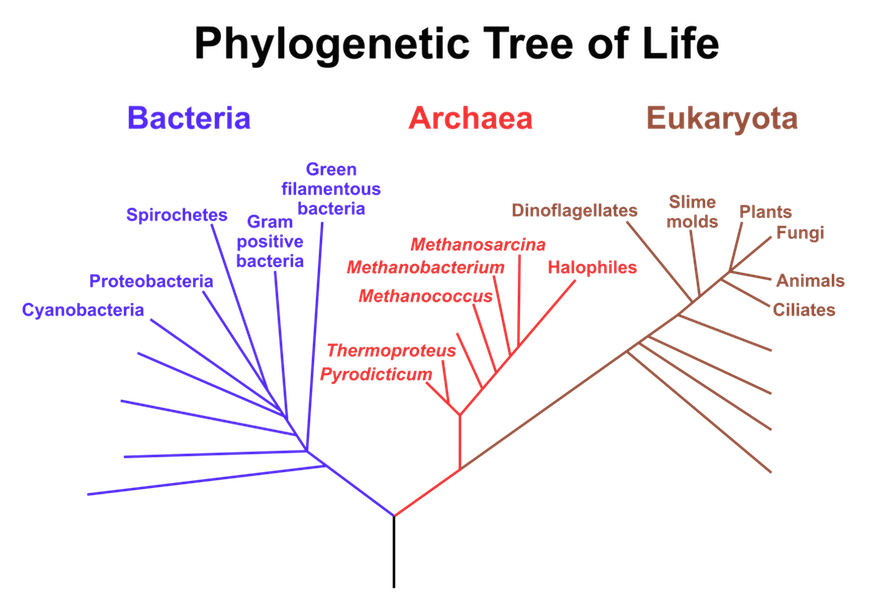 Fig 25 Diagram Of Evolutionary Tree Of Life Showing Three Domains