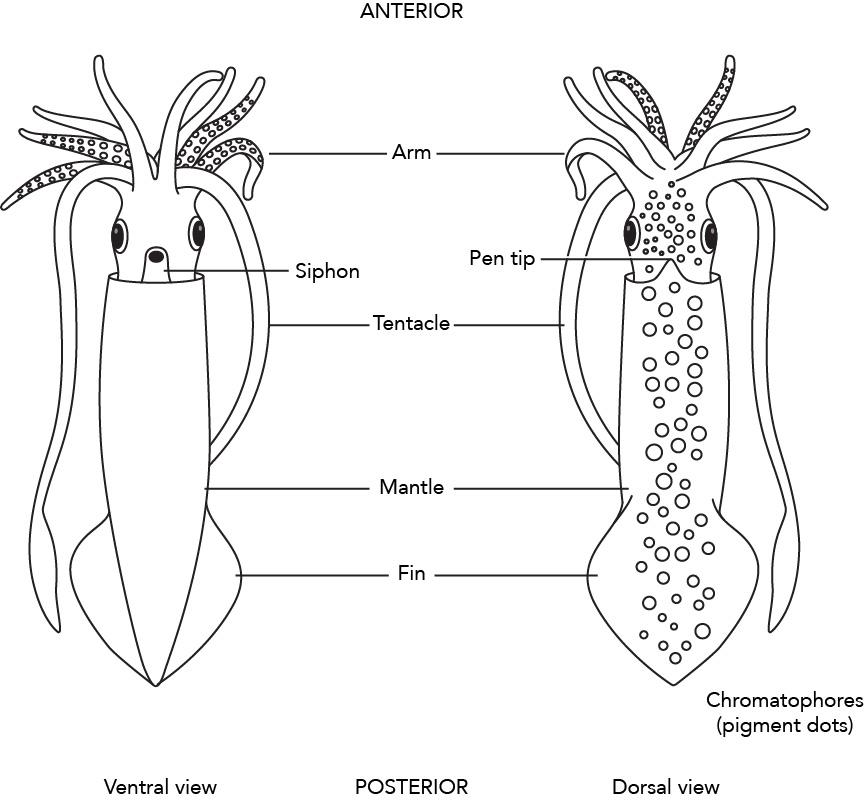 fig 3 71 1 diagram of external squid anatomy rh manoa hawaii edu squid internal anatomy diagram squid body diagram