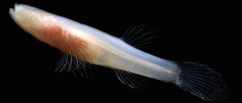 <p>Fig. 1. Eyeless Ozark cavefish (<em>Amblyopsis rosae</em>)</p>