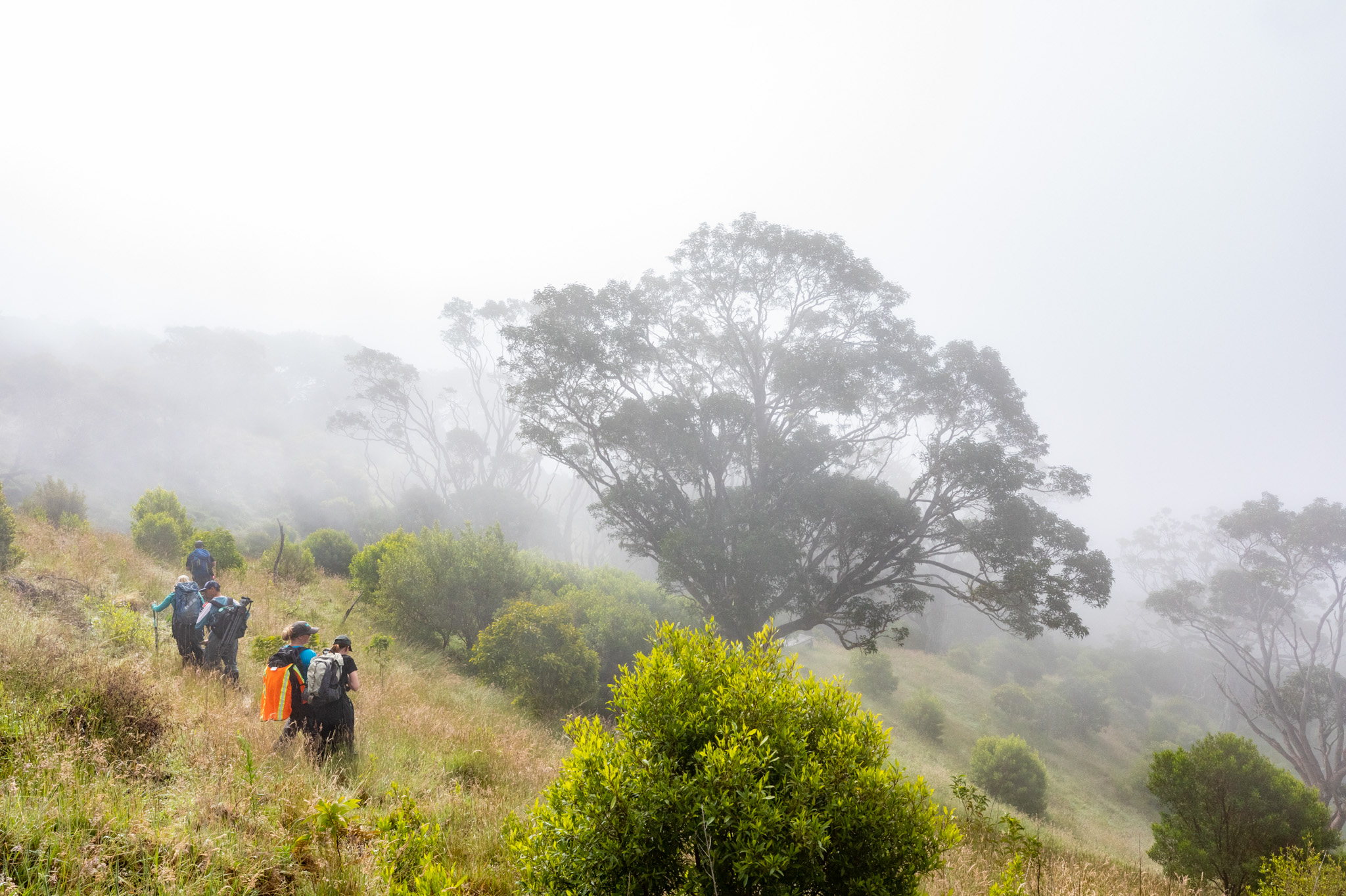<p>Fig. 1. Mist covers East Mauiʻs&nbsp;Haleakalā Volcano as researchers from the Maui Forest Bird Recovery Project hike out to plant native trees.</p>