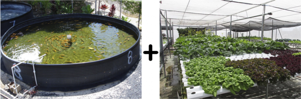 <p>Fig. 4. Aquaponics is a system that combines aquaculture (left) and hydroponics (right) to grow aquatic animals and plants. The aquaponics system shown here on the left is in Honolulu, Hawai'i at the President William McKinley High School. The hydropic farm on the right is on Midway Atoll, Hawai'i.&nbsp;</p><br />