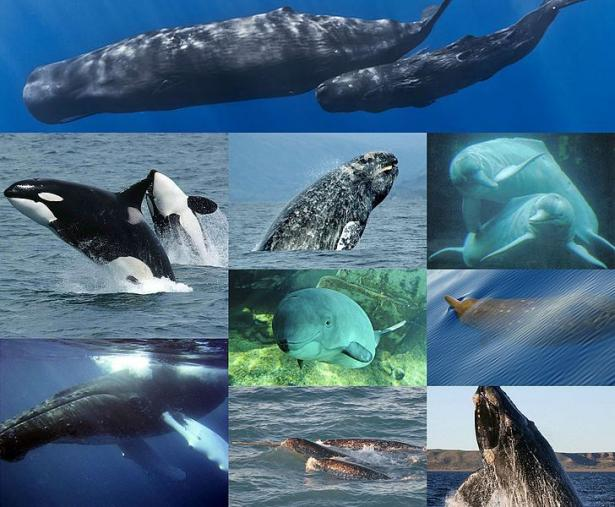 <p>Fig. 2. Cetaceans are a diverse group (about 89 species) of aquatic mammals that are further divided into toothed and baleen whales.<br /><br /> <em>Pictured here clockwise from top: sperm whale, Amazon river dolphin, Blainville's beaked whale, southern right whale, narwhal, humpback whale, killer whale, gray whale and harbor porpoise.</em></p><br />