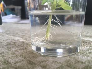 <p>Fig. 6A. It's important to observe different aspects of plant growth in your experiment.This plant was grown with extra CO<sub>2</sub>.</p><br />