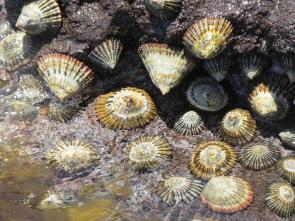 <p>Fig. 1. ʻOpihi latching tightly onto the rock at low tide in Papahānaumokuākea Marine National Monument.</p>
