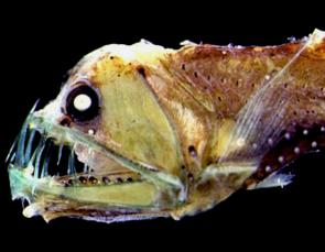 <p>Fig. 9. Viperfish have massive teeth and eyes to survive in the twilight zone.</p><br />