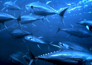 <p>Fig. 3. Tuna are a type of pelagic fish often tagerted in fisheries.&nbsp;</p>