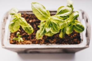 <p>Fig 3B. Basil grown in soil. A plant in soil may grow at a different rate than one in hydroponics.</p><br />