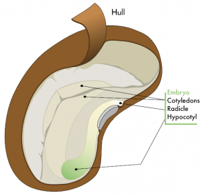 <p>Fig. 5. A deeper dive into a seed reveals hidden parts of the embryo and the stored nutrients that allows it to grow.</p>