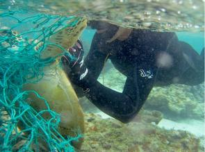 <p>Fig. 1.&nbsp;A snorkeler cuts an entangled turtle free of fishing net in the Northwestern Hawaiian Islands.</p><br />