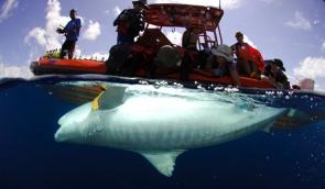 <p>Fig. 1.&nbsp;A tiger shark (<em>Galeocerdo cuvier</em>) is implanted with a transmitter.</p><br />