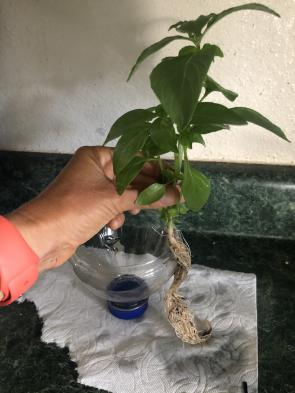 <p>Fig. 4a. A basil plant and roots before pulling the roots through the hole in bottle cap.</p><br />