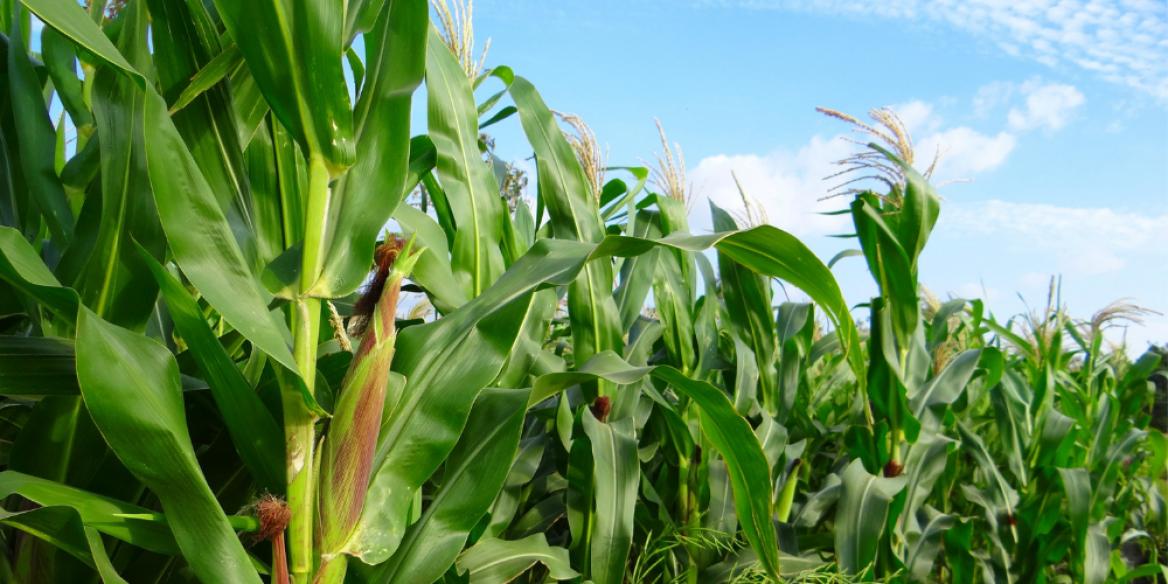 Corn growing in a field.