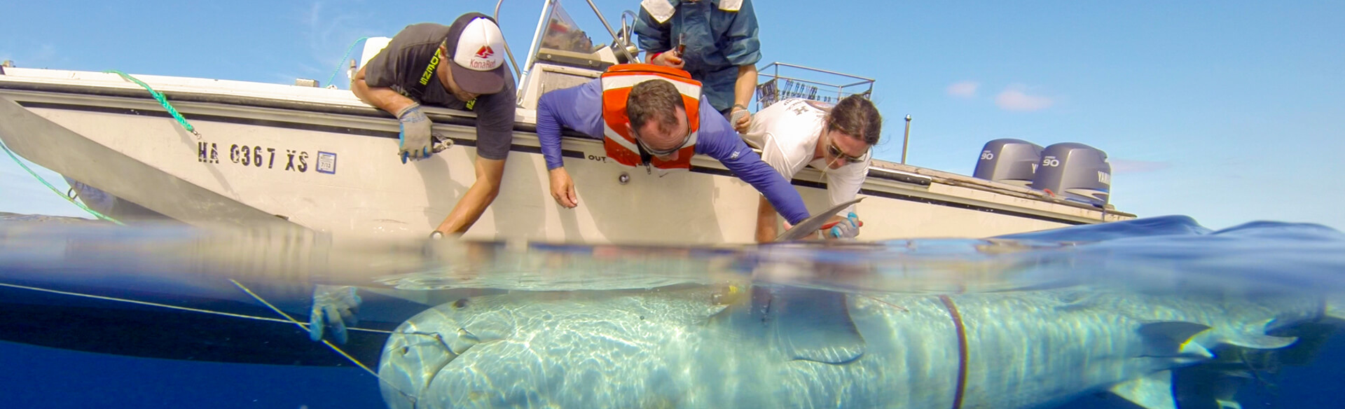 Hawaii Institute for Marine Biology researchers deploy a tag for shark tracking research